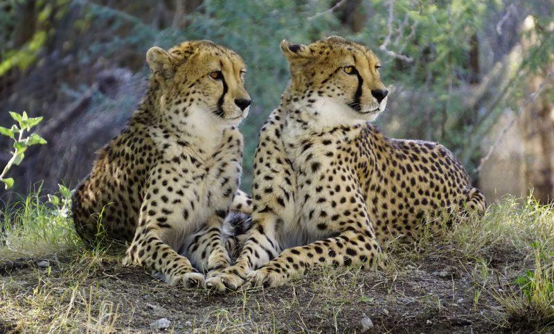 Zwei Geparden liegend im Busch