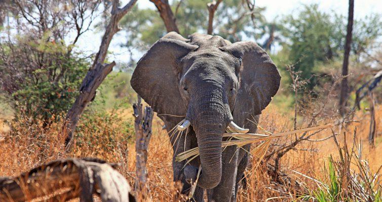 Big Five Elefant im afrikanischen Busch